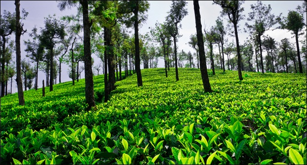 Indian Tea Estates are located in Assam and Kerala