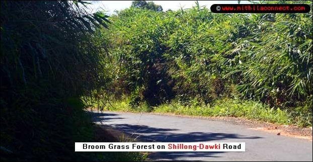broom_grass_forest_shillong