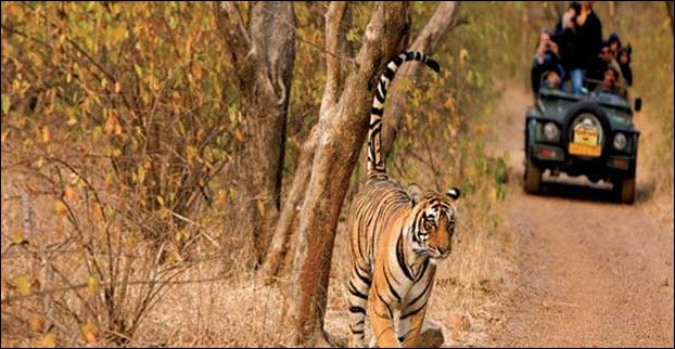 Kaziranga is also a place to see tigers in natural habitat